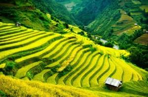 Rice terraces, Vietnam
